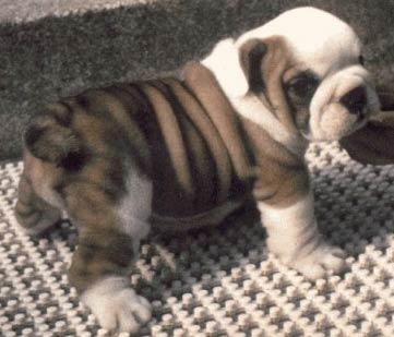 Bulldog | Leather Dog Collar